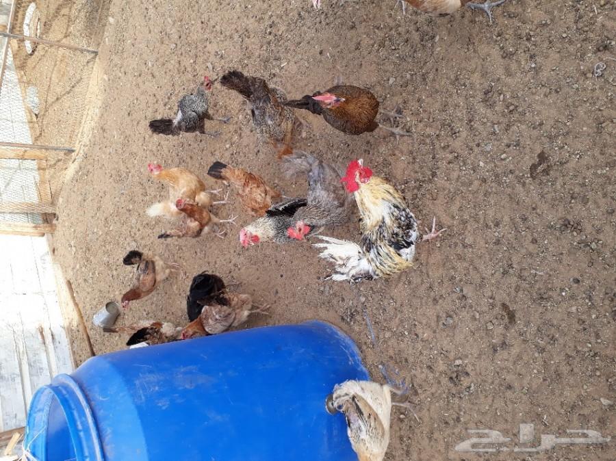 بيض دجاج بلدي طازج كل يوم