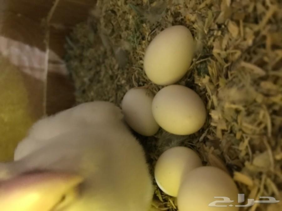 جوز روز منتج بيضتين ملقحه