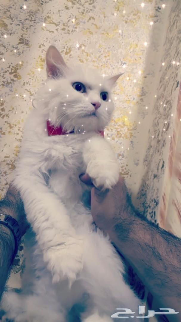 قطه شيرازي شنشيلا