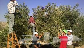 زيت زيتون فلسطيني عصرة أولى جديد