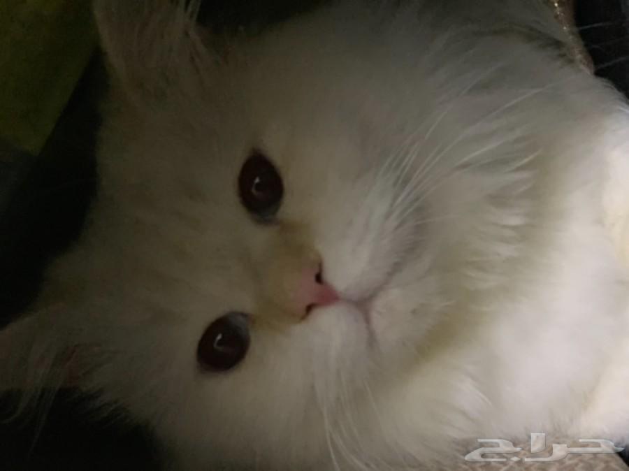 تزاوج قط ذكر شيرازي كندي