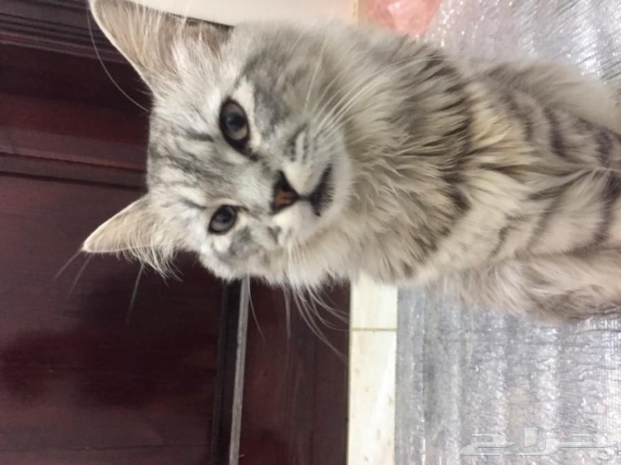 قطه شرازي العمر 7 شهور