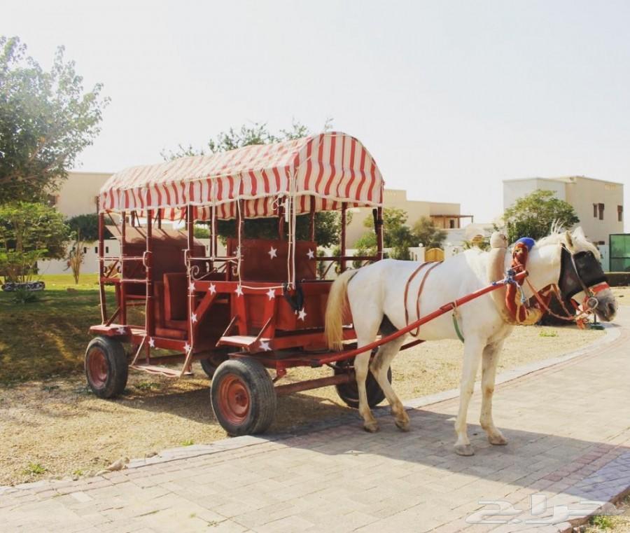تأجير حنطور - سيسي - حصان - فرس - جمال -عربات