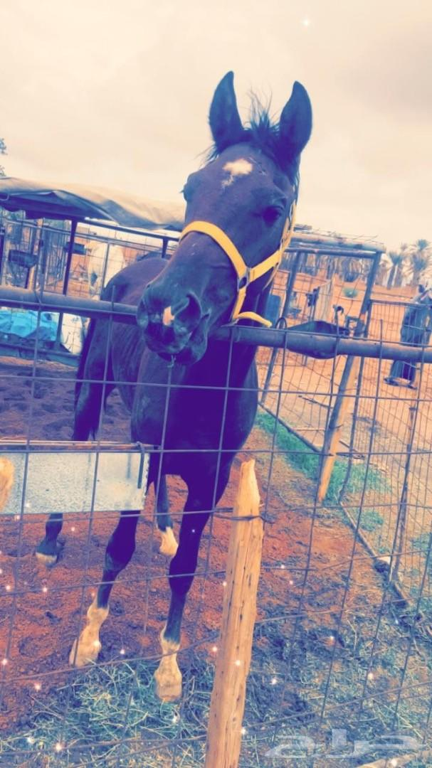 اعرض لكم حصان شعبي