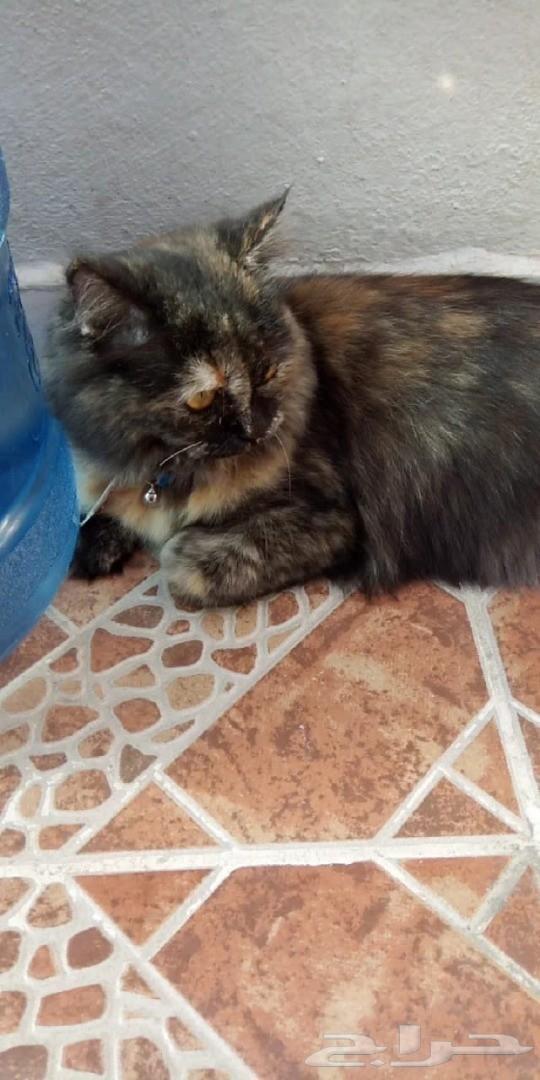 قطة شيرازي شعر كثيف