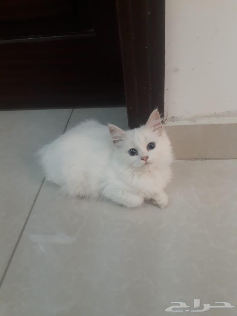 قطة أنثى شرازي عمر 6 شهور تخفيض 200 ريال فقط