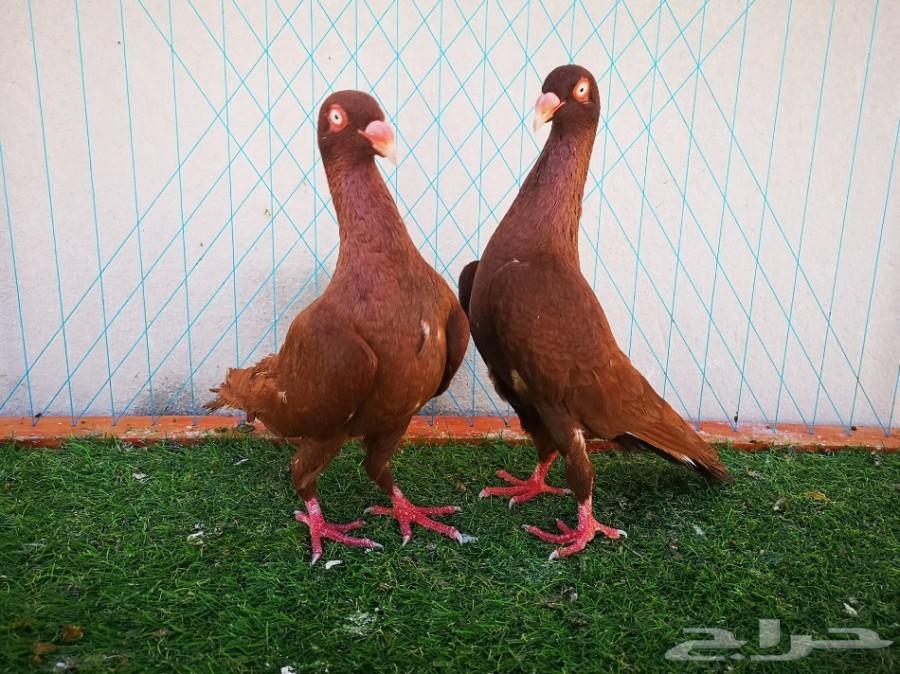 زوج أوزبك أصفروزوج دنش أحمر منتجين تم البيع