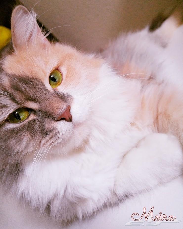 لعشاق قطط شيرازي أمريكي قطة ذكية