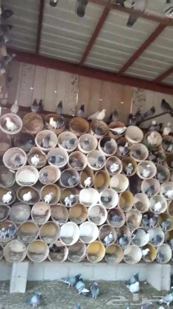 حمام زاجل  ابو خطين وكريمي