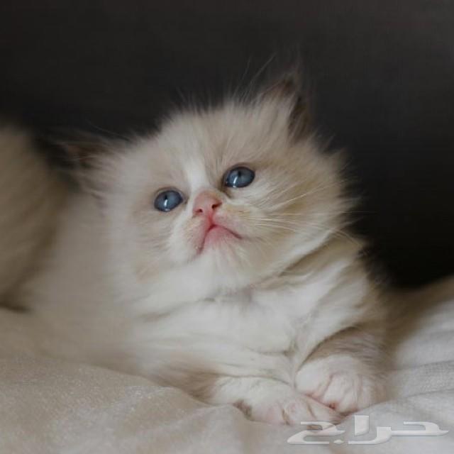 لمحبي القطط