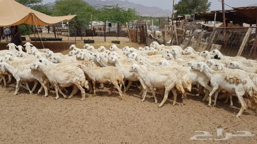 84  حريةو عدد 30 معزا خلفات عدد 12 معز بيشية