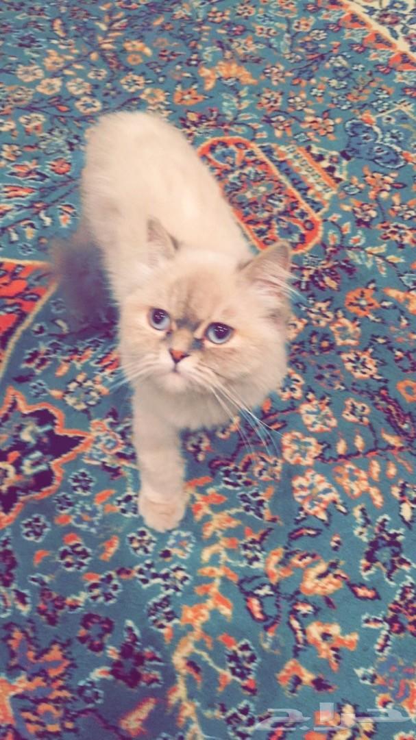 للبيع قطة هملايا 9 اشهر