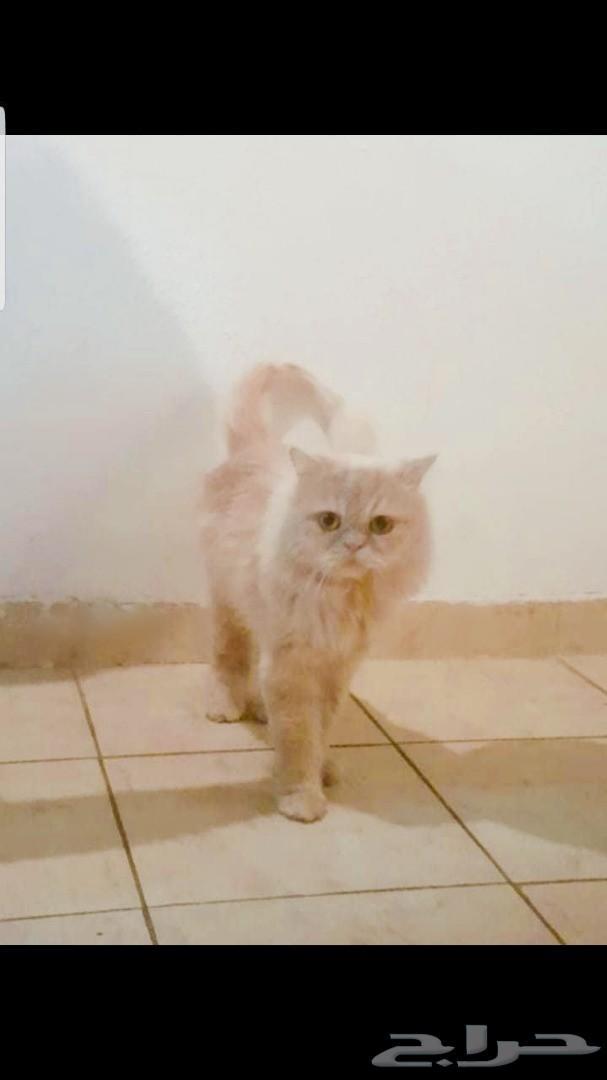 قط شيرازي هاف بيكي فيس للبيع بالرياض