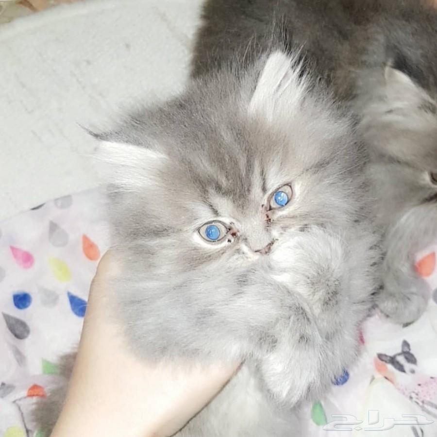 قطط صغيرا للبيع هاف بيكي بيور