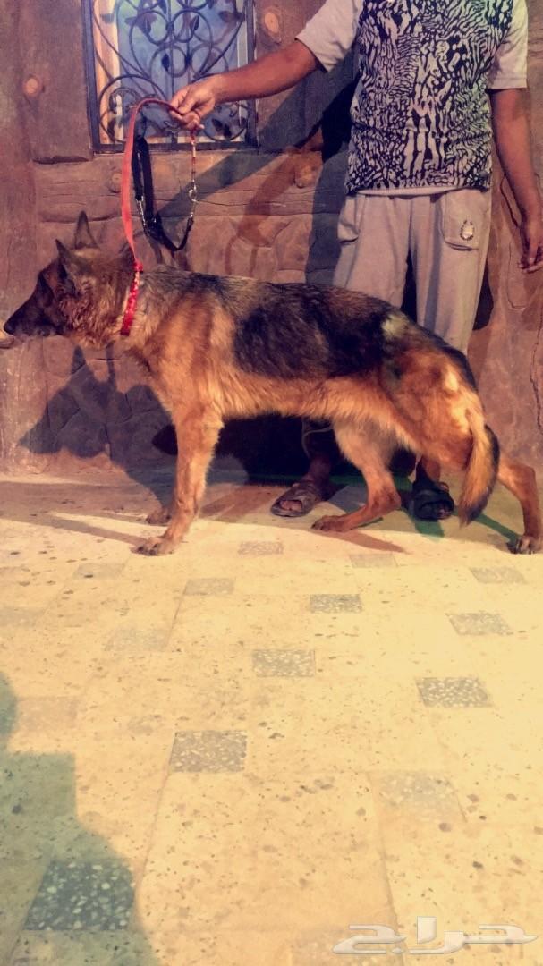 كلبة جيرمن شيبرد .. رووعة لللبيع