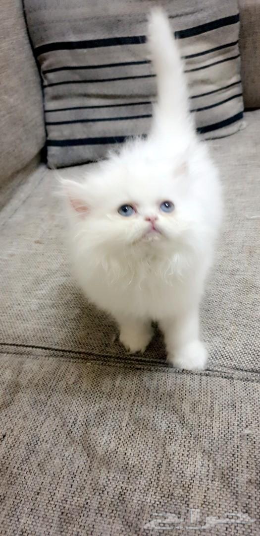 قطه هاف بيكي أنثي (تم البيع)