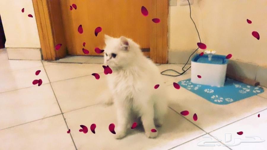 قطة طالبة تزاوج للبيع  مناسبة للاستثمار
