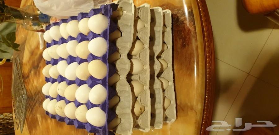 بيض فيومي مصري أصل مخصب