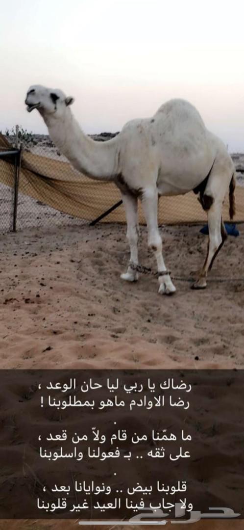 ناقه وضحاء طيبه كفو كفو واطيب من تصوير