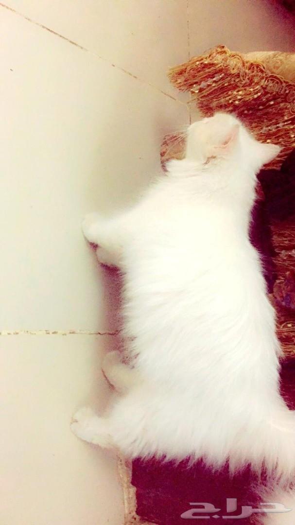 قطة بسة