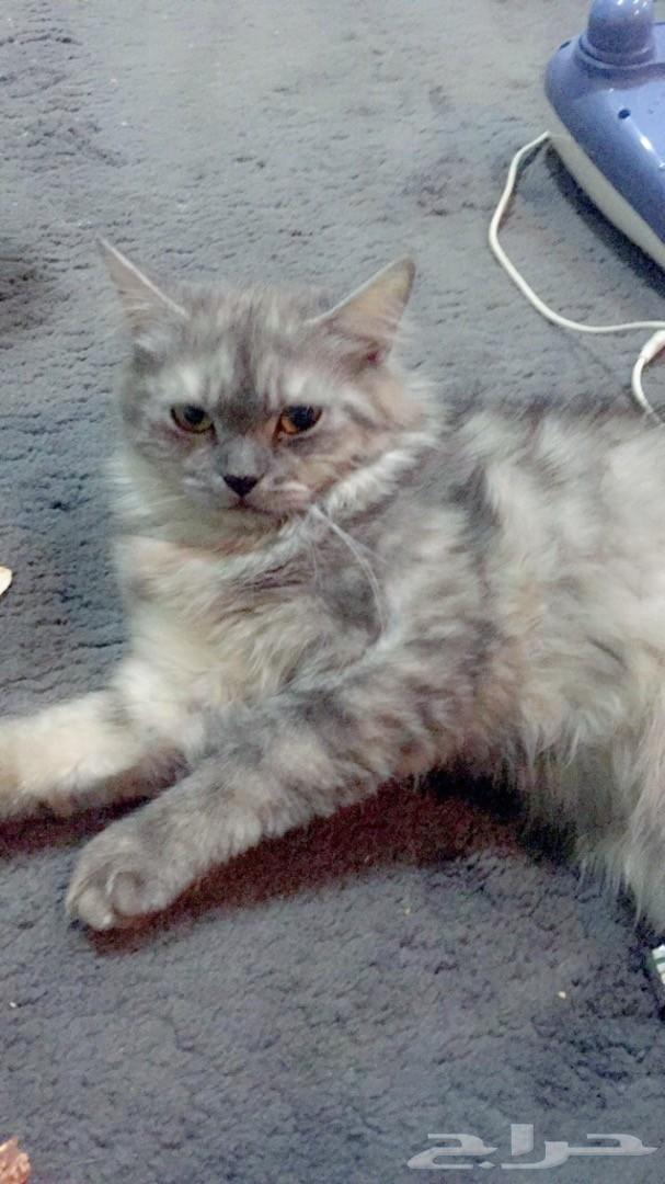 قطه شيرازيه انثى