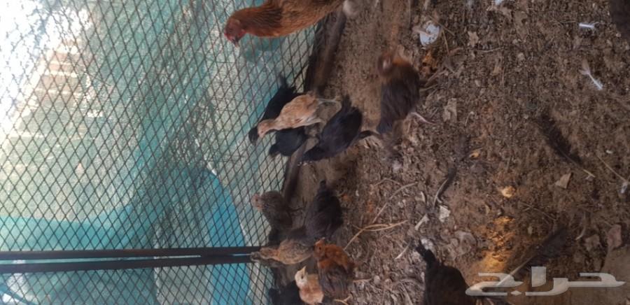فيوامي شباب للبيع وصيصان دجاج