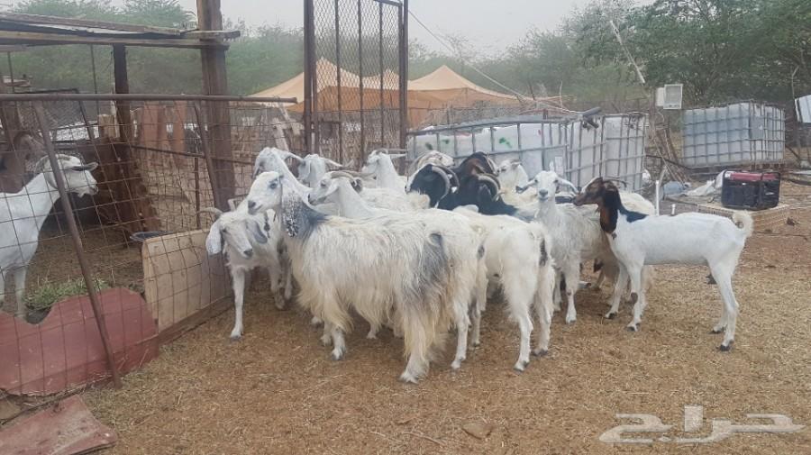عدد16 معزا مشروكة مصريات علي بيشيات