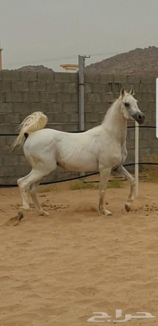حصان واهو عربي أصيل