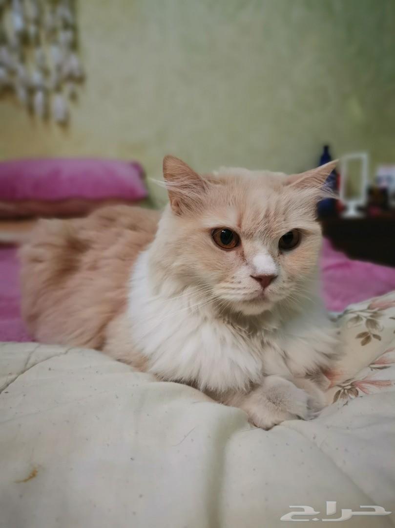 مطلوب ذكر للتزاوج مع قطه شيرازية