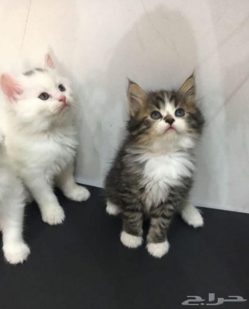 2 قطة - مون فيس - انثى - و ذكر - شيرازي