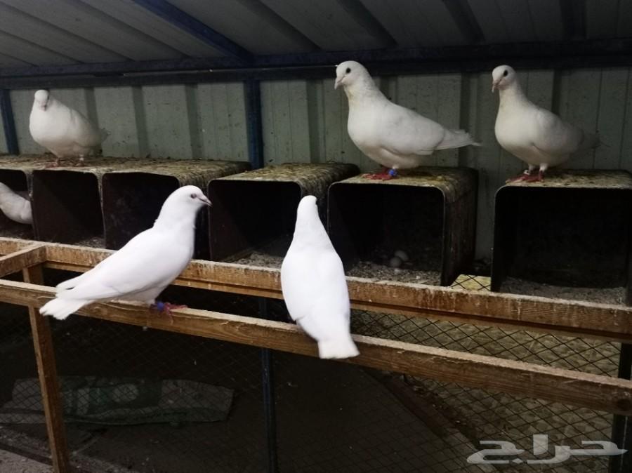 14 زوج فرنسي أبيض أحجام سوبر جامبو تم البيع
