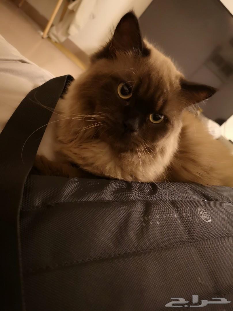 قط هملايا تشوكلاته