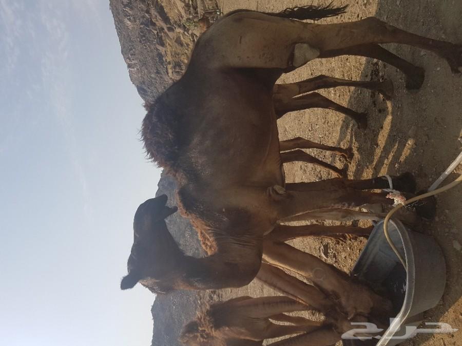 ناقة قعود للبيع في مكة 900x674-1_-5d06dca0e817c