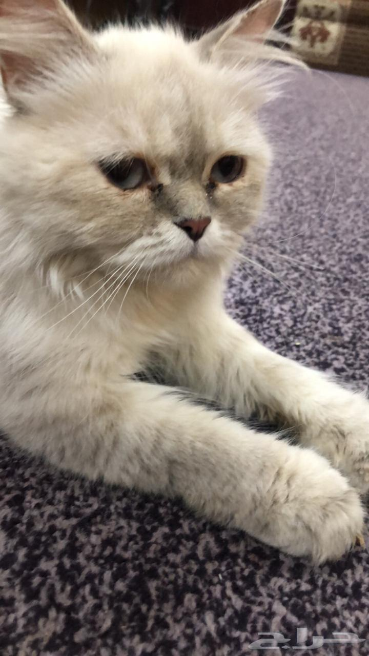 للبيع قطه هملايا حامل بالدمام