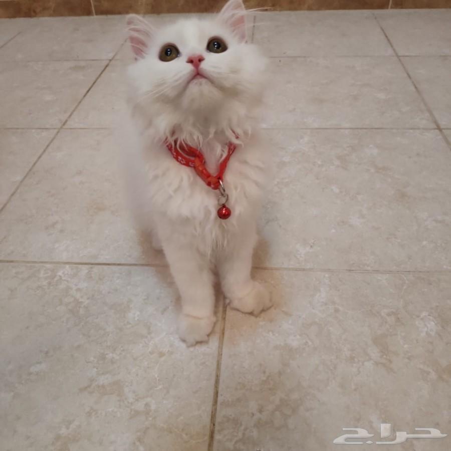 قط شيرازي من أم هيمالايا