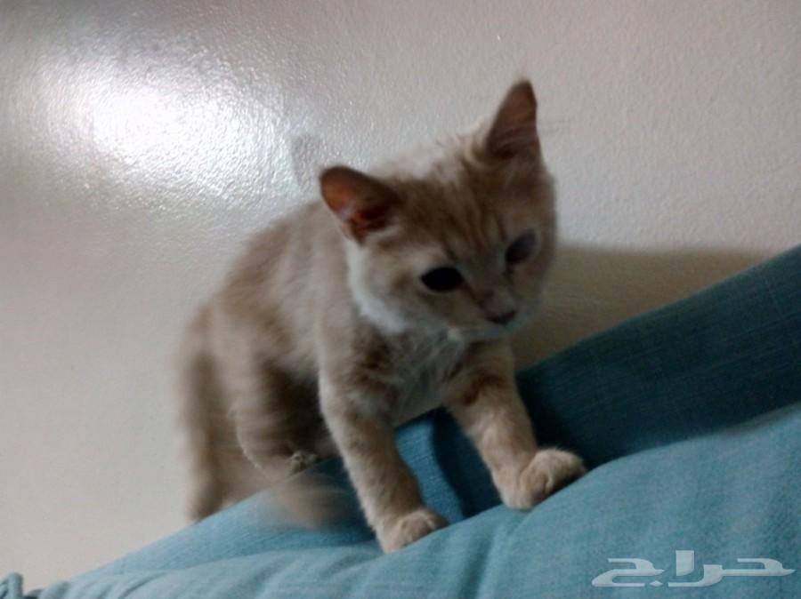 للبيع قطة شيرازي انثى مع كامل مسلتزماتها..