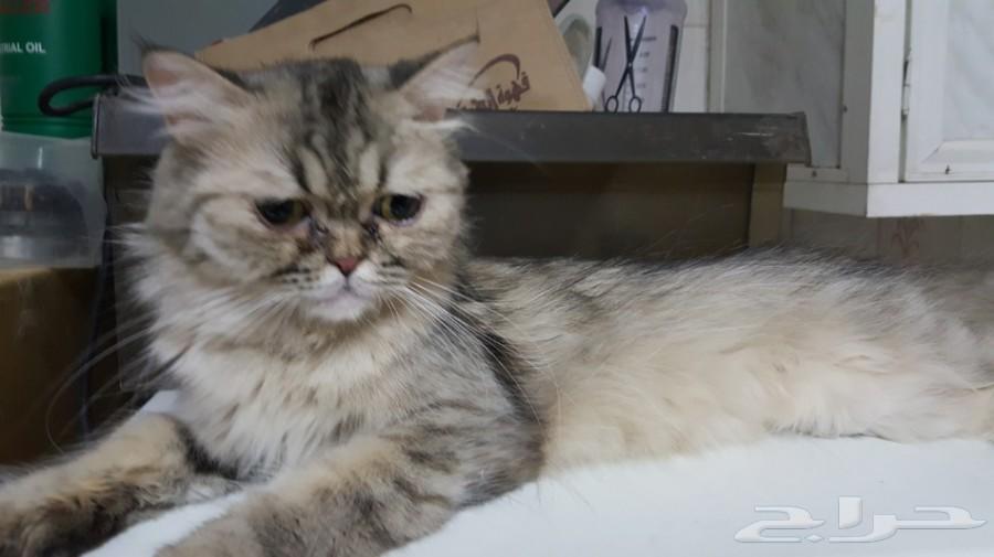 قطة شيرازية انثي هاف بيكي  ب 200 ريال فقط