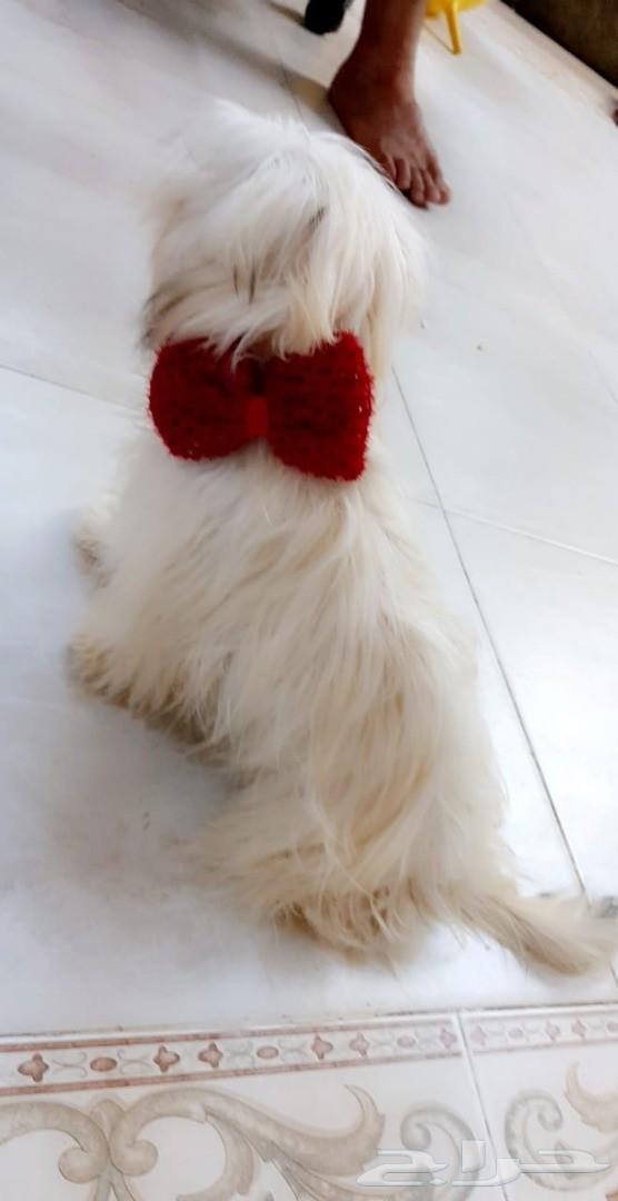 كلب مالتيز فرنسي ابيض جميل ومرتب مستوه جميل
