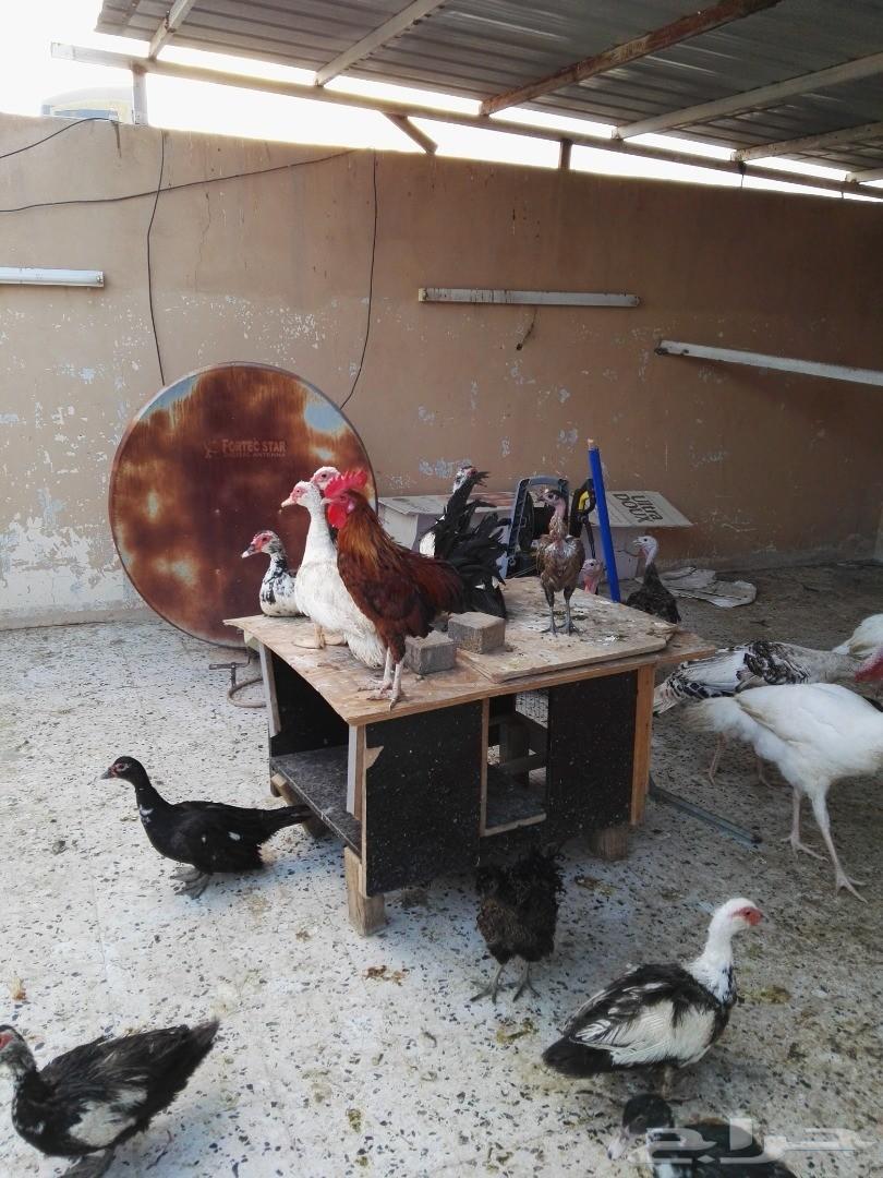 فقاسة بيض مع صوص دجاج بلدي عمر اسبوعين