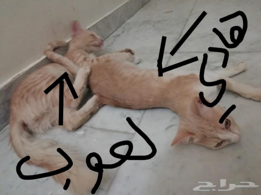 3 قطط للبيع شيرازيه