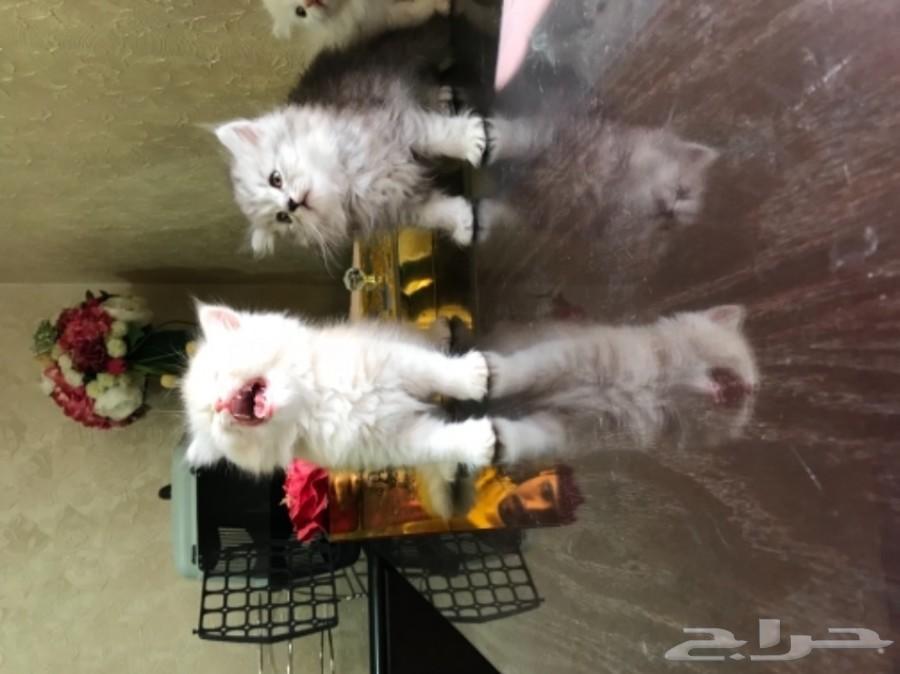 قطط هاف بيكي كتن ب 650