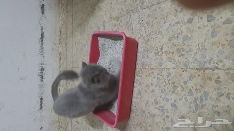 قطه شيرازي مون فيس