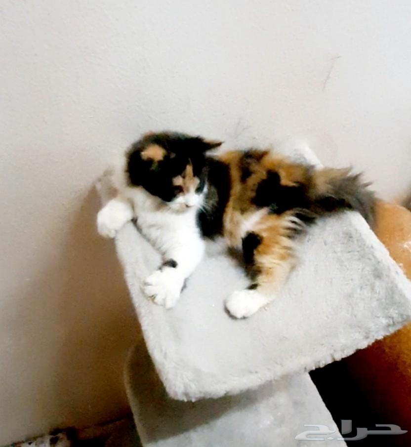 قطة صغيرة شيرازي انثى كاليكو