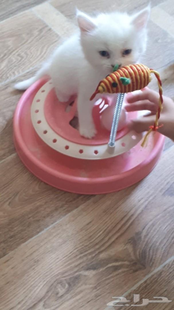قطط للبيع شهرين