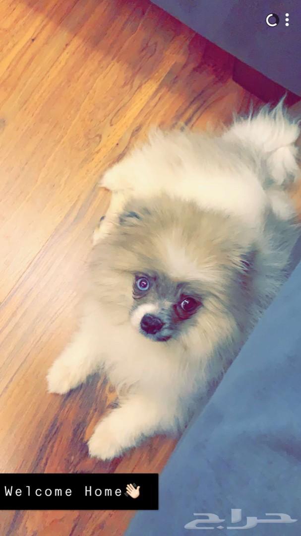للبيع كلب بوميرانيان Pomeranian dog