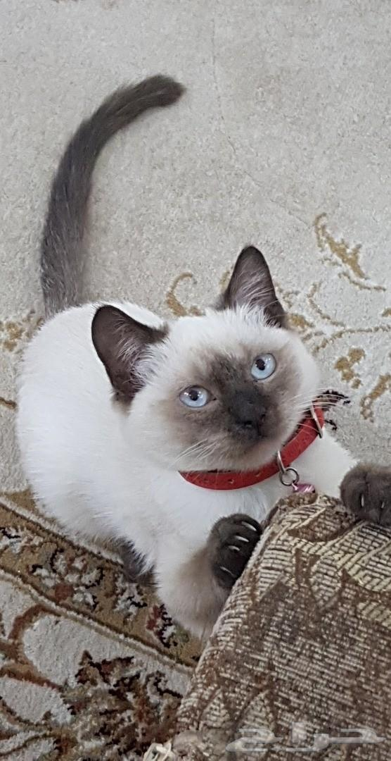 قطه هملايا (انثى)