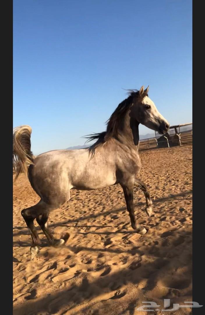 حصان وأهو شييخ