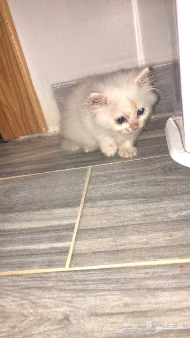 قطه شيرازيه لون ابيض