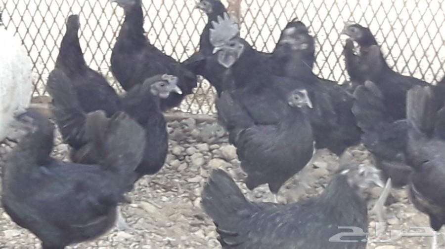 بيض مخصب دجاج إندونيسي لمبرغيني