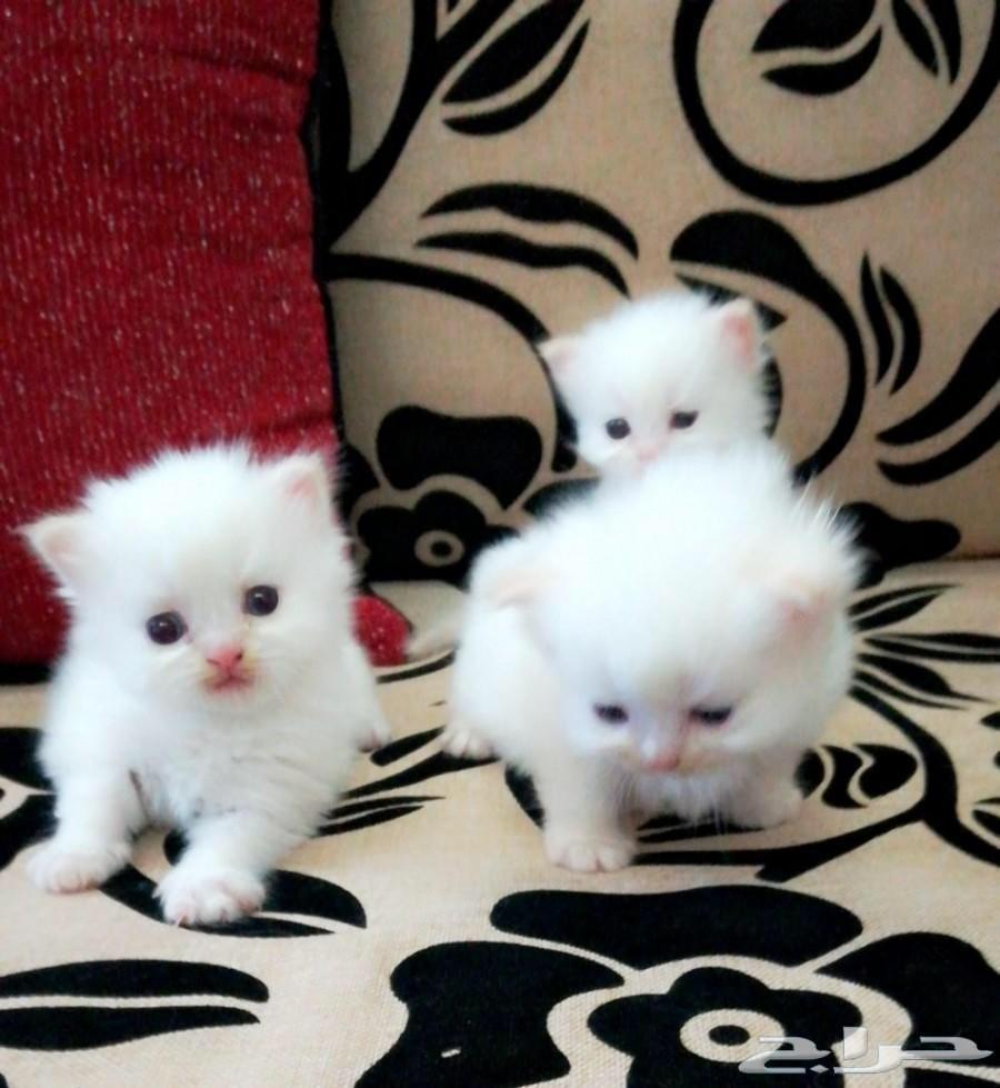 احتاج قطط شيرازي صغيره   بالرياض